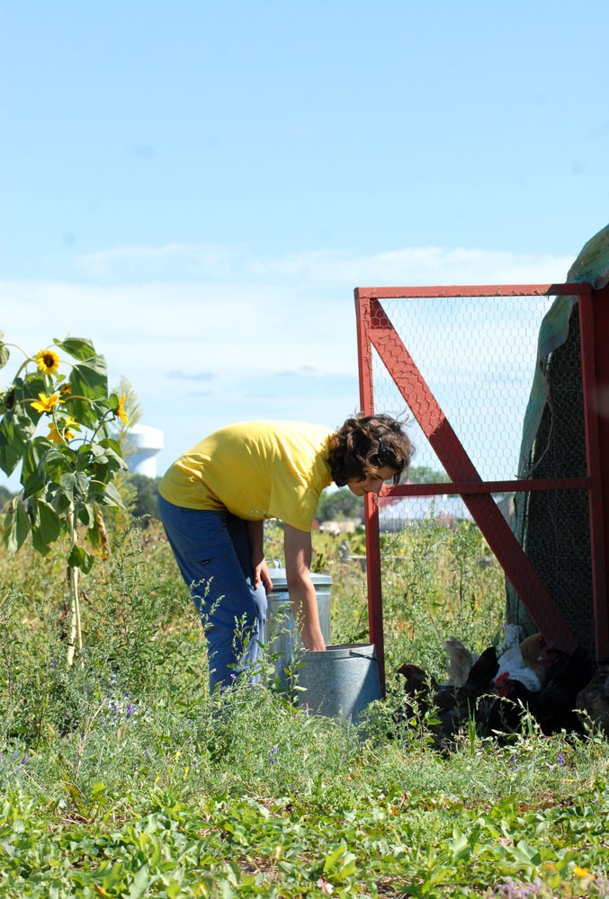 Amanda Cross feeds the chickens after gathering beans for the campus farmers market on Wednesday. The Cornercopia stand is run by CFANS students and is the only USDA certified organic produce booth on campus.