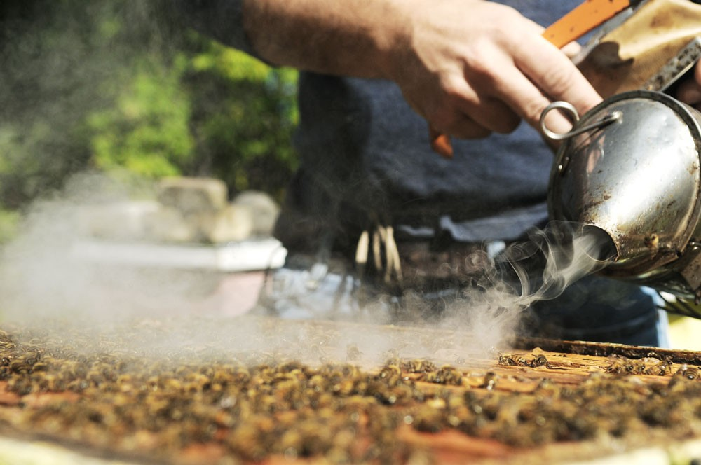 Michael Simone squeezes smoke on the top of a bee colony before removing the honeycomb frame. Simone hypothesizes that the smoke disrupts the bees' chemical cues, confusing them and diverting their attention from the intruder.