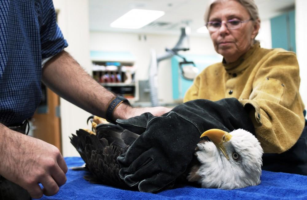 bald eagle examination - U Raptor Center
