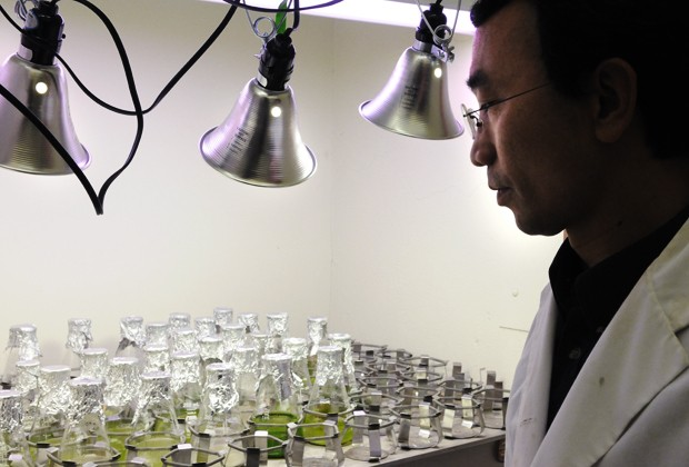 Roger Ruan, the University researcher working on the wastewater algae project, examines algae Friday in St.Paul.