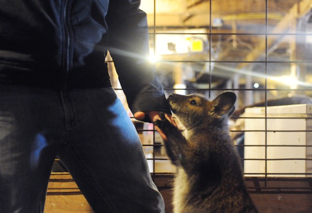 Rocky the wallaby nibbles on Lilienthal's jacket Sunday in Arlington, MN. Before living in his own kennel, Rocky spent a few months in Lilienthal's St. Paul apartment while he finished college.