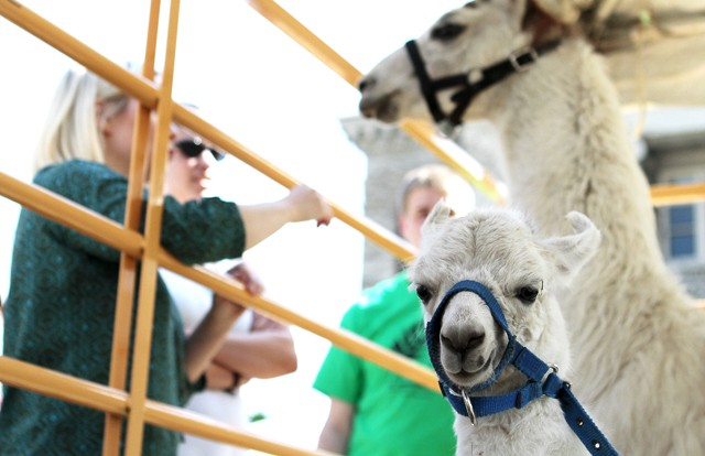 Students got a chance to interact with llamas and other animals Tuesday at Agriculture Awareness Day on Northrop Mall.