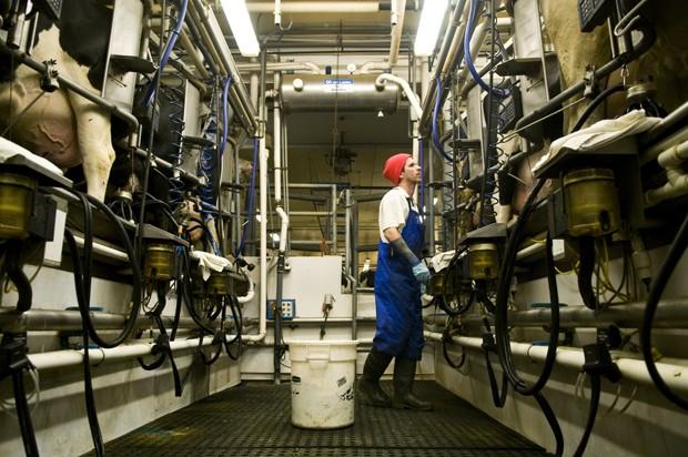 Farm animal attendant Chris Miller milks cows on St. Paul campus.