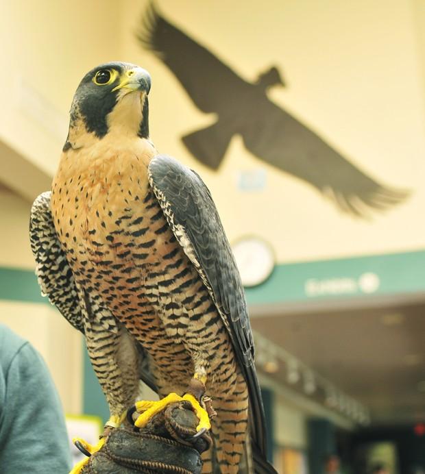 Senior student volunteer Vanessa Hellestad holds a Peregrine Falcon named Artimus at the Raptor Center in St. Paul.