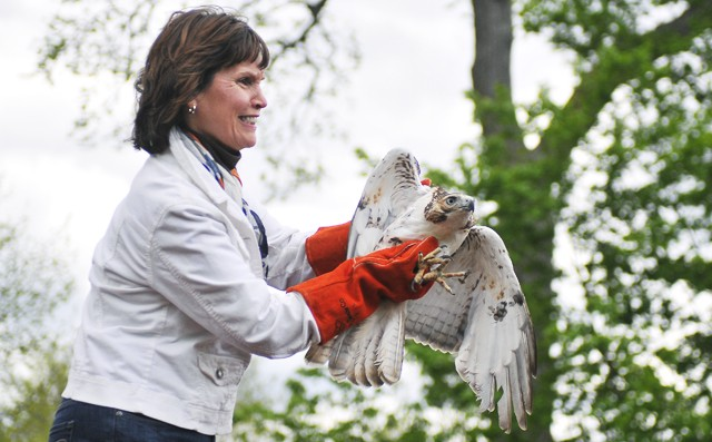 Congresswoman Betty Mccollum releases a red tail hawk back into the wild at the Raptor Center's Spring Raptor Release in Bloomington on Saturday.