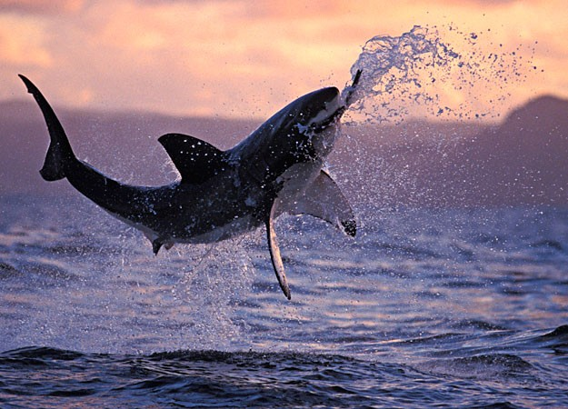 A Great White Shark gets high with a large jump.