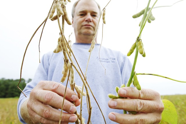 Bryce Nelson shows how sudden death syndrome has affected soybeans across Southern Minnesota Thursday in Rose Creek, Minnesota.