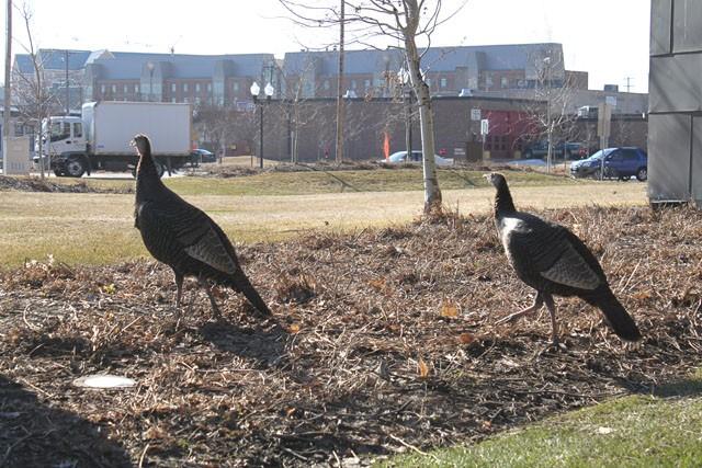Wild turkeys move in on campus