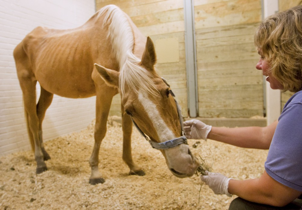 Large Animal Hospital Manager Sheryl Ferguson feeds a undernourished 22-year-old mare named Iris.