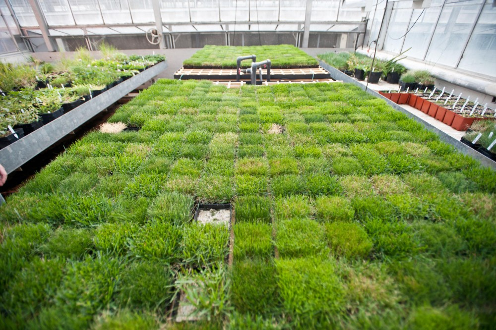 Indoor turf samples live in nutrient solution in St. Paul's green house.