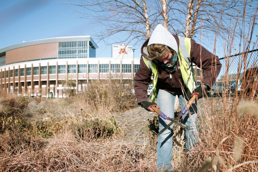 Student gardener Rachel Soika trims perennial grasses Tuesday near TCF Bank Stadium.