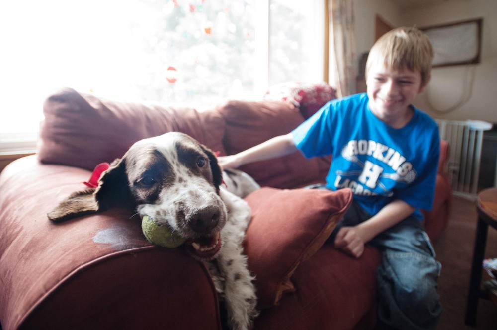 Luke enjoys playing with a tennis ball while his owner,Track Huston, sits beside him Saturday at home in Crystal, Minn. Luke, a 6-year-old English Springer Spaniel, was the first participant in a trial for dogs with lymphoma at the University of Minnesota's College of Veterinary Medicine.
