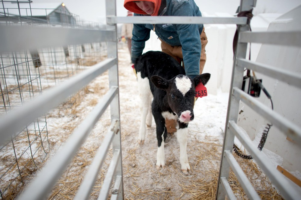 Animal science research assistant Zach Sawall guides a calf on to a scale Friday morning at Dairy Teaching & Research Center in St. Paul.