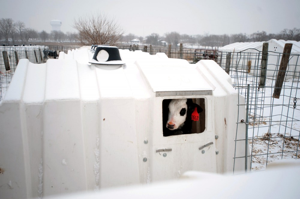 A calf peeks out of a window in a calf hutch Friday morning at Dairy Teaching & Research Center in St. Paul.