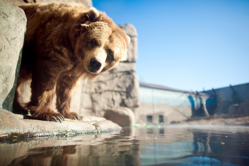 A brown bear seems unwilling to enter the frigid water. Brown bears are not the most graceful of swimmers.