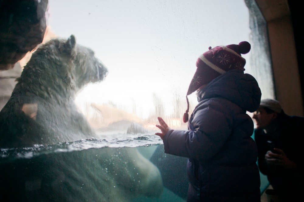 Anna Rose Steger, 2, wonders at the size of a male polar bear at the Como Park Zoo and Conservatory Saturday in St. Paul. The bears are engaging in the natural behavior, undisturbed by humans behind the glass.
