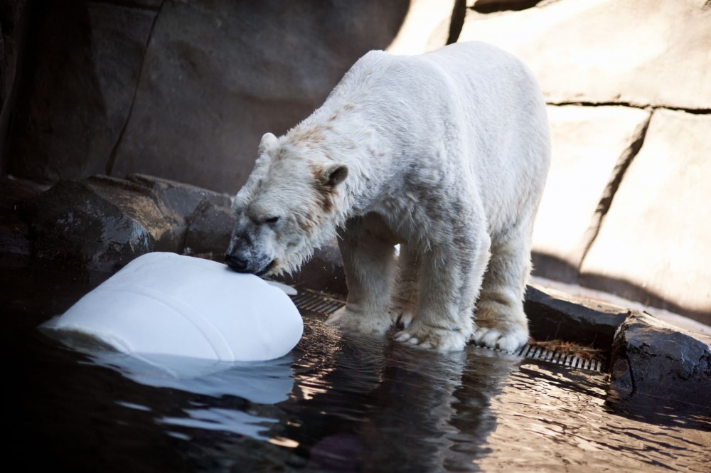 A polar bear prepares to pounce on his