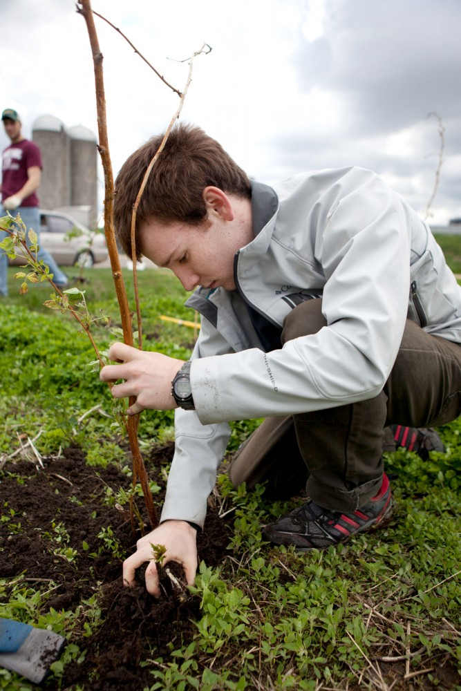 Ben Anklan, a student service learning volunteer, plants a raspberry plant on Thursday in the St. Paul campus as part of the Minnesota Institute for Sustainable Agriculture.
