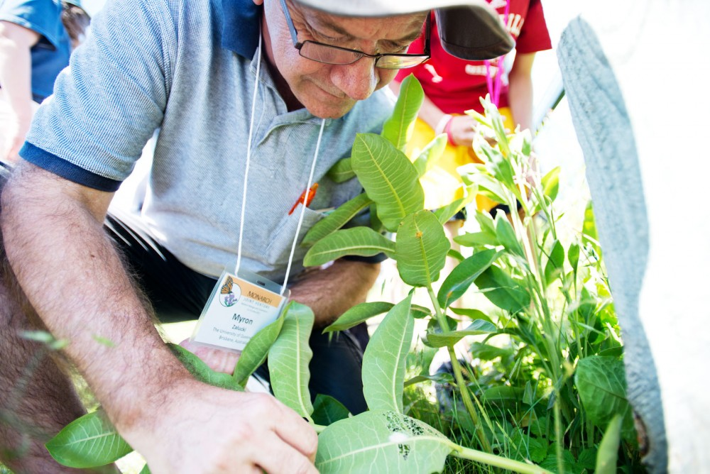 University of Queensland professor Myron Zalucki searches for Monarch larvae Friday at the University of Minnesota Landscape Arboretum.