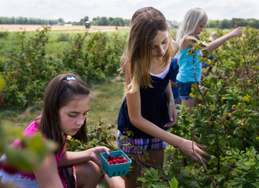 Riley Gorman, Lauren Wachter and Ava McCarron pick raspberries at the Berry Patch in Forest Lake, Minn.