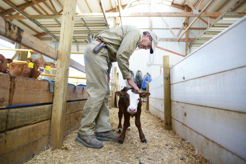 Dairy farmer Dave Buck admires a newborn calf at his dairy farm Saturday in Goodhue, Minn. The calf was born earlier that day.