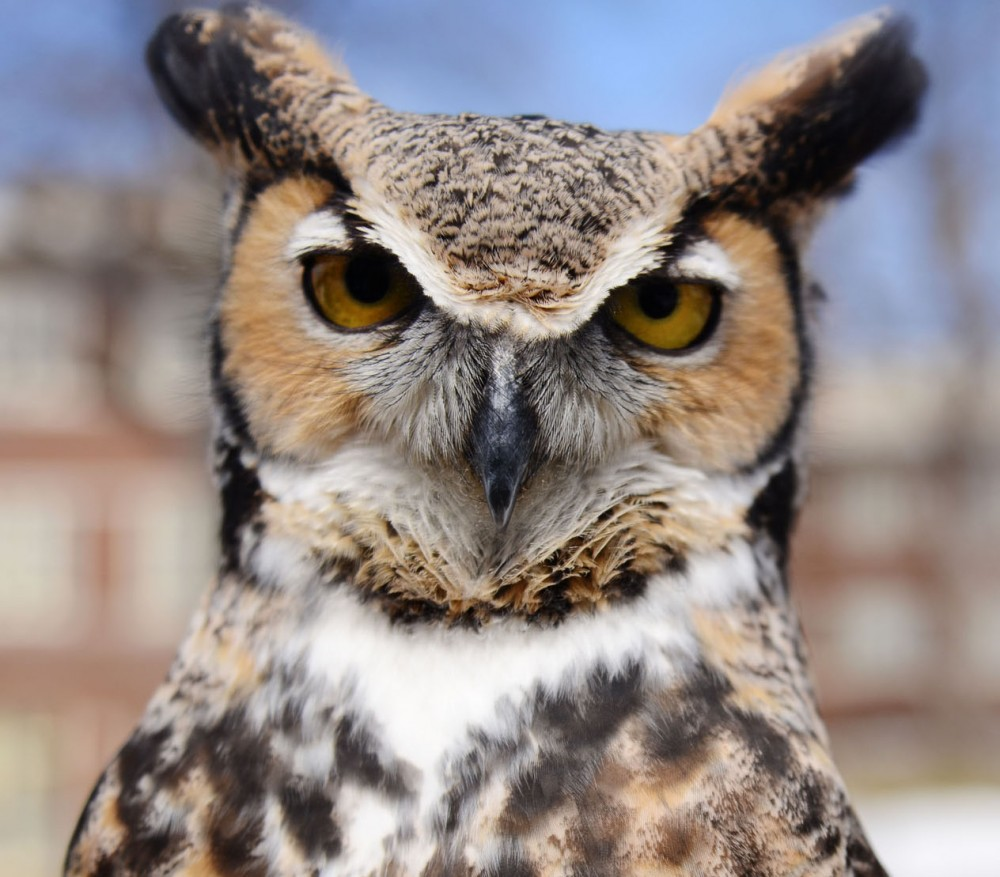 Bubo, a great horned owl, is an educational bird at the Raptor Center on the St. Paul campus. Bubo is used specifically for educational purposes and can't be released into the wild because of too much interaction with humans at a young age.