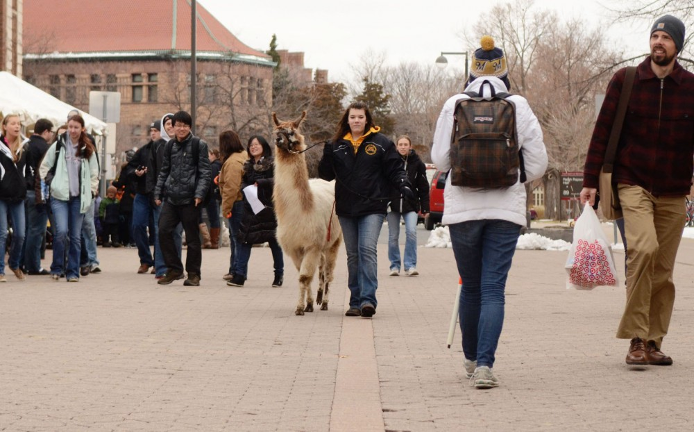 Animal science junior Emily Boser walks Comet, a llama, down Church Street Tuesday, April 16, 2013, afternoon as a part of Agriculture Awareness Day.