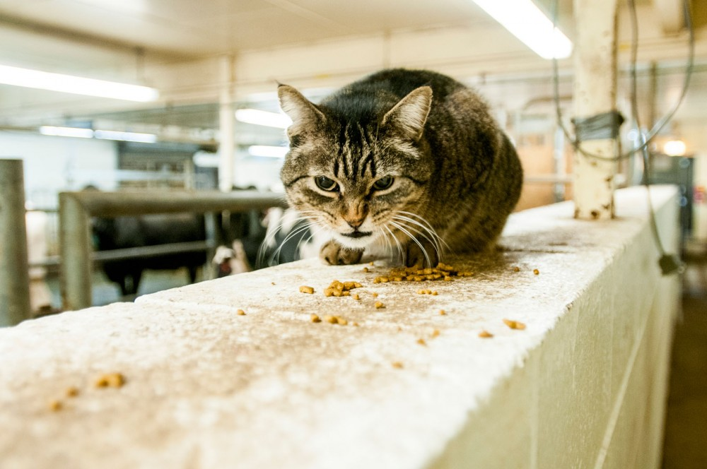 A cat munches on snacks at the Dairy Cattle Teaching & Research Facility on St. Paul Campus.