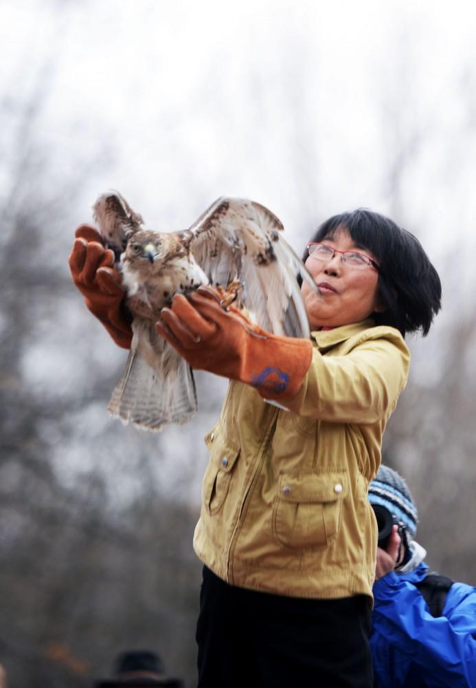 Dr. K W Choi releases one of two red-tailed hawks back into the wild during the raptor release event in Bloomingtons Hyland Lake Park Reserve on Saturday, May 4, 2013.