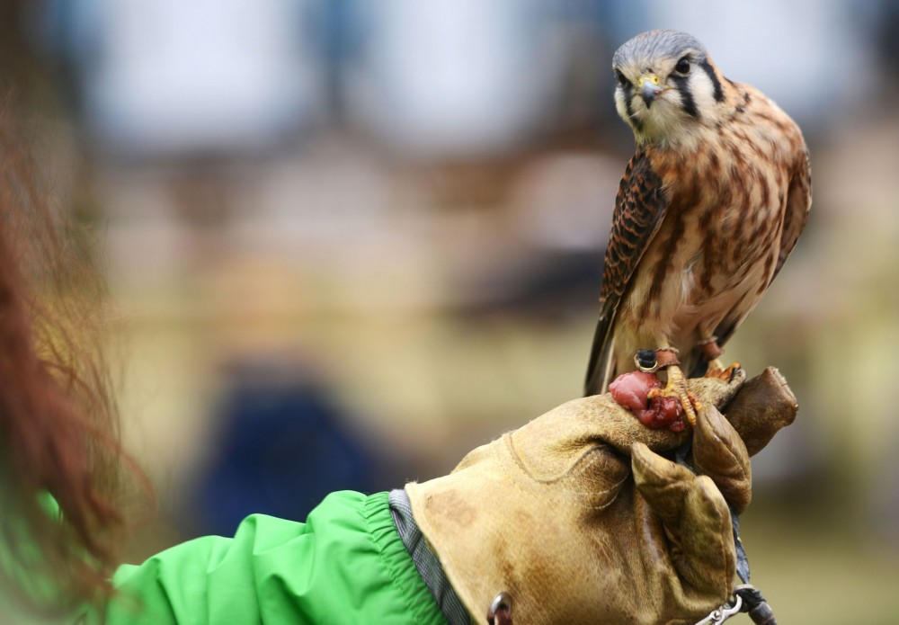 A Raptor Center volunteer holds an American kestrel during the raptor release event in Bloomingtons Hyland Lake Park Reserve on Saturday, May 4, 2013.