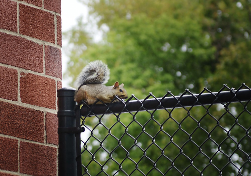 A squirrel sits on a fence in Dinkytown on Monday. University research found that animals living in urban environments tend to have larger brains than those in rural settings.