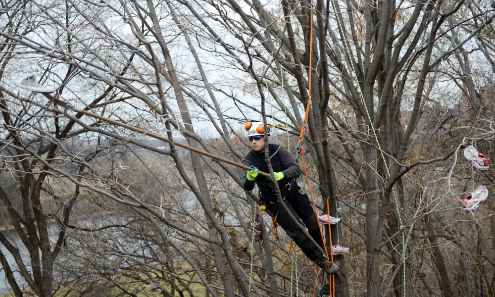 University Landcare gardener Jeffrey Hayes cuts down shoes from the trees near West Bank off the Washington Avenue Bridge on Wednesday afternoon.