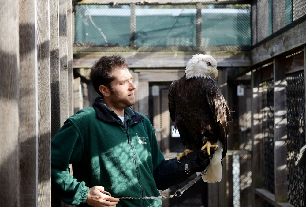 Interpretive Naturalist Adam Barnett lets a bald eagle sit on his arm at the Raptor Center on Tuesday afternoon. The Raptor Center, located on the St. Paul campus, is in the midst of designing a renovation to update its facilities and better use the space available.
