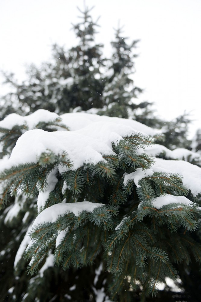 Evergreen trees on St. Paul campus on Sunday. To reduce tree theft, the University sprayed the needles of evergreen trees on campus with skunk scent.