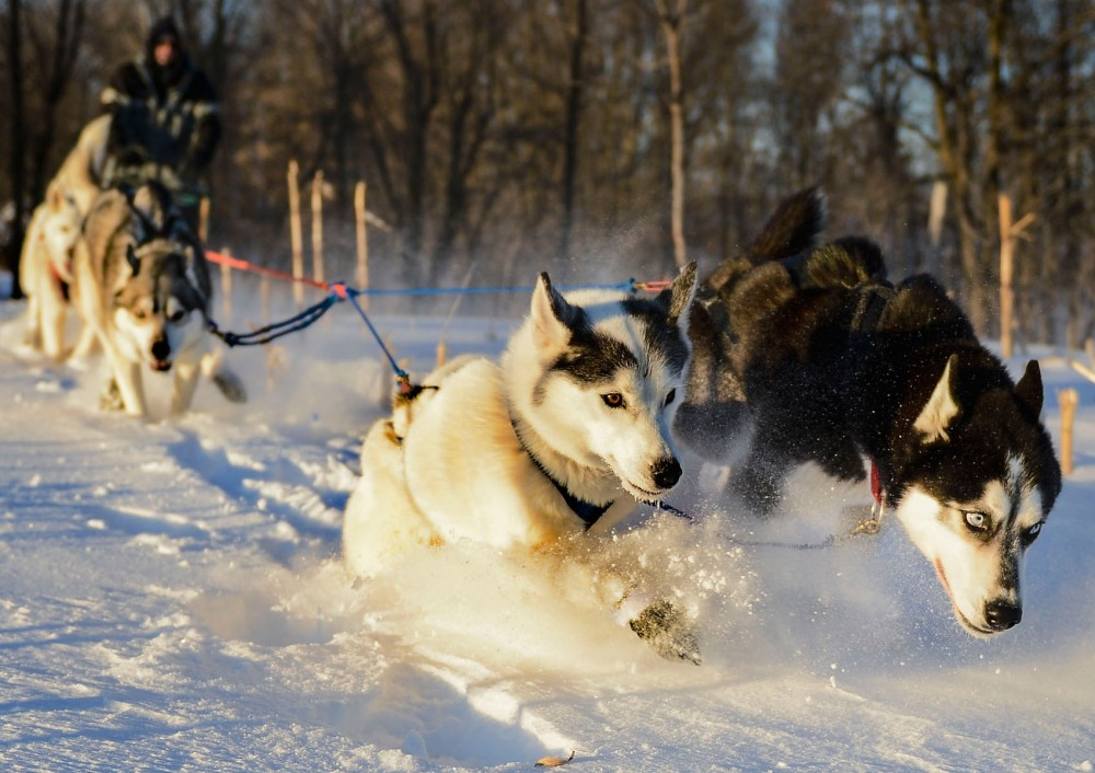 The dogs trek through thick snow to get to the main trail Monday evening in Chisago, Minn.