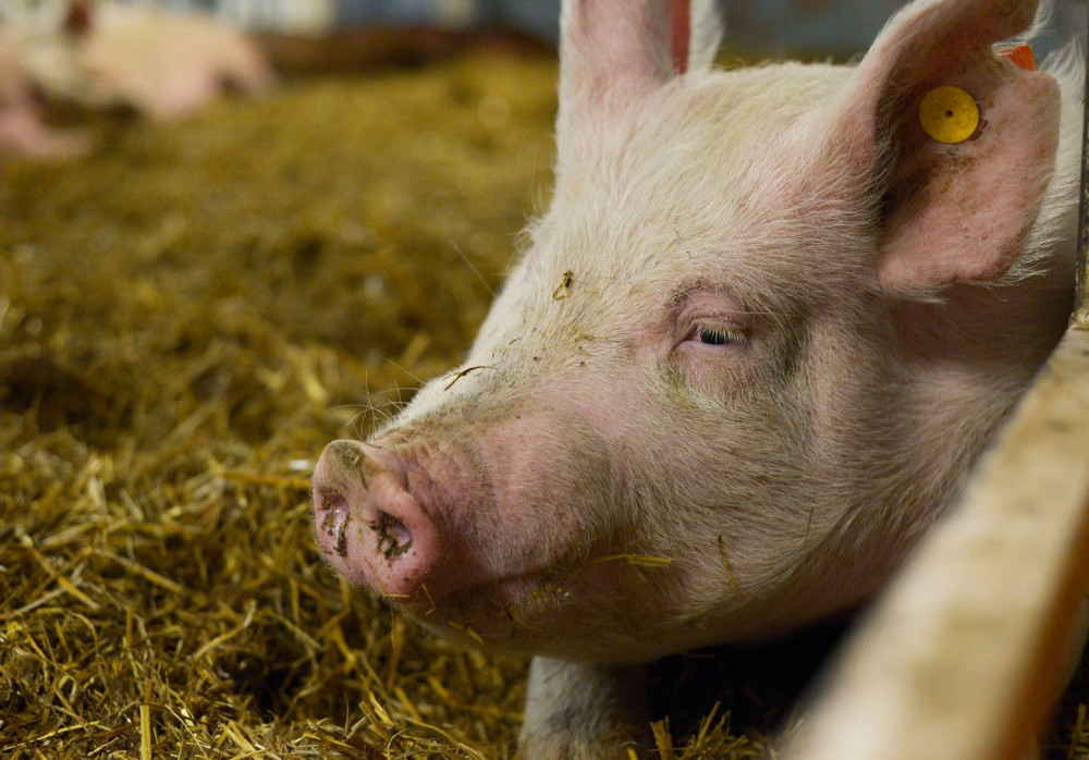 Researchers at the University of Minnesota are leading efforts to slow the spread of porcine epidemic diarrhea virus, in hopes of keeping non-infected pigs like this one on the St. Paul campus safe.