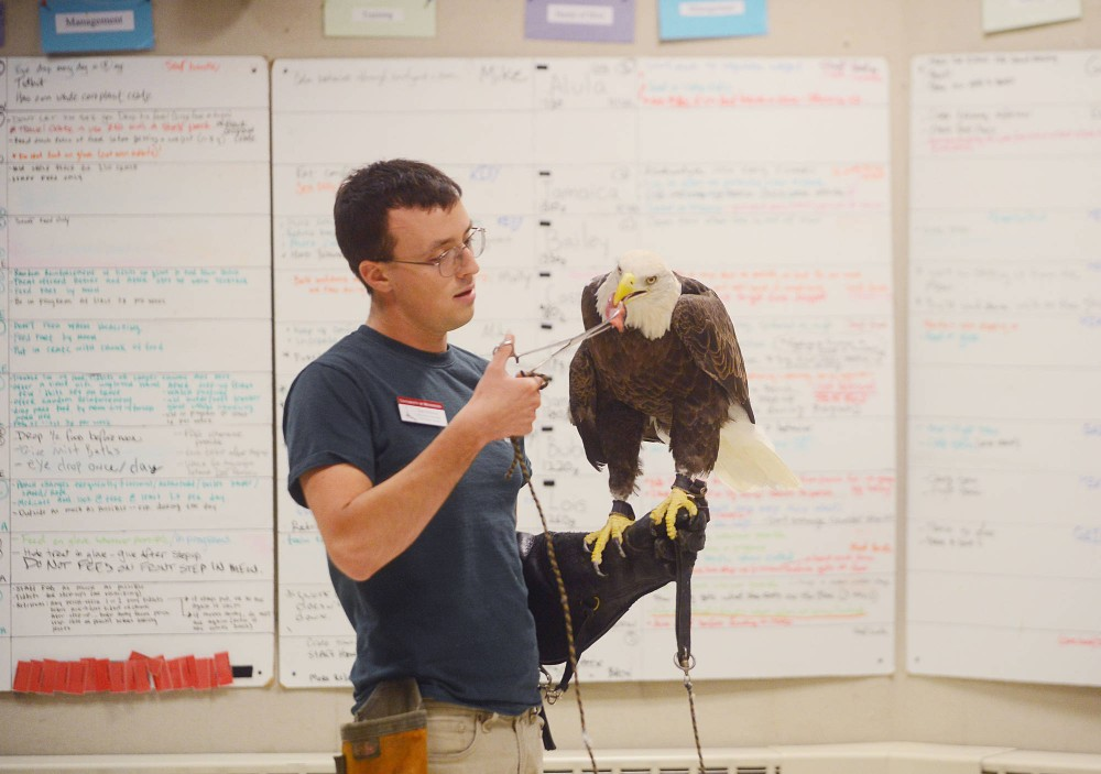 Dan Hnilicka, interpretive naturalist at the Raptor Center, feeds a bald eagle after measuring its weight on Thursday.