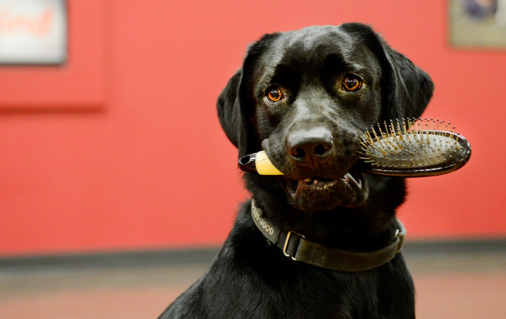 Service-dog-in-training Uno demonstrates holding a hairbrush at Can Do Canines in New Hope, Minn. on Wednesday evening.