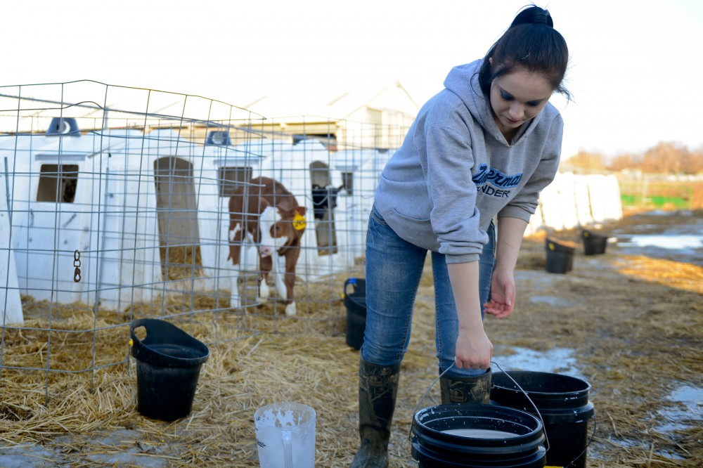 Freshman animal science major Danielle Johnson feeds calves at the Dairy Cattle Teaching and Research facilities on the St. Paul Campus. The St. Paul Campus hosted its first Explore Ag Careers Day last Monday, which provided information on agricultural careers to middle schoolers in an effort to encourage more students to pursue careers in agricultue.
