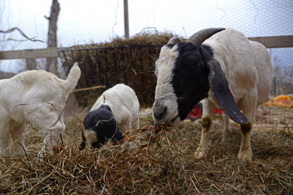 Baby Goats and their mother eat hay at Jake and Amanda Langeslag's farm in Faribault on Tuesday. The Langeslags own over 50 goats for their LLC, Goat dispatch which focuses on eco-friendly land management and brush management with the use of goats.