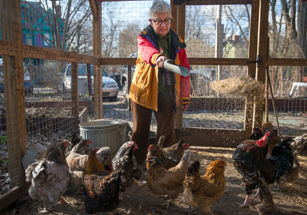 Representative Phyllis Kahn throws feed for chickens at her home before going door-to-door canvassing Saturday morning. Phyllis Kahn is running for re-election in 2016 for District 60B.