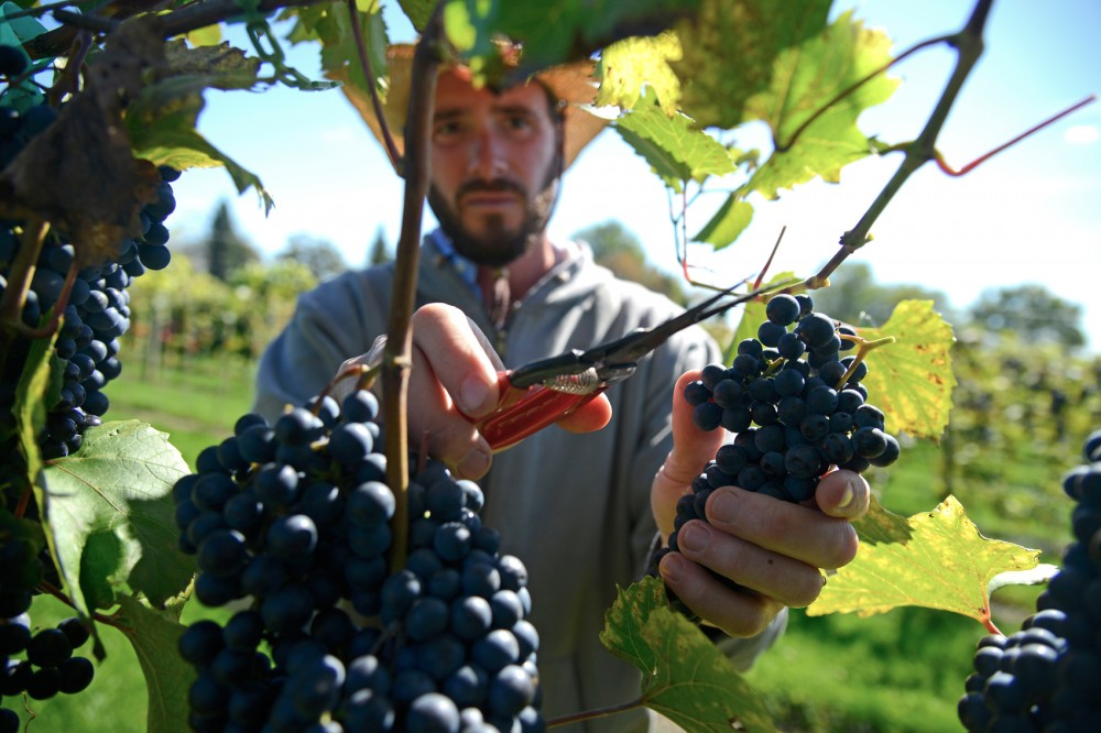John Thull harvests grapes at the research vineyard in Excelsior, Oct. 1, 2015, to be brought to the research winery for juicing. A new kind of grape, the Itasca, is one of many varieties being cultivated in this same vineyard.