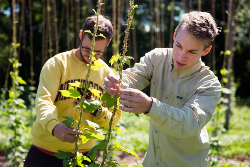 Mighty Axe Hops CEO Eric Sannerud, right, and COO Ben Boo train hop plants to grow correctly at their farm in Ham Lake on Tuesday, June 7.