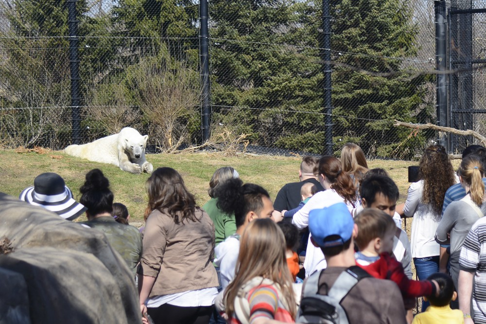 A crowd gathers to watch a polar bear at the Como Zoo on Saturday, April 1, 2017.