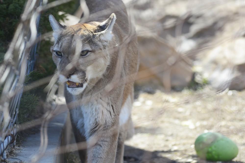 A cougar stalks around its enclosure at the Como Zoo on Saturday, April 1, 2017.