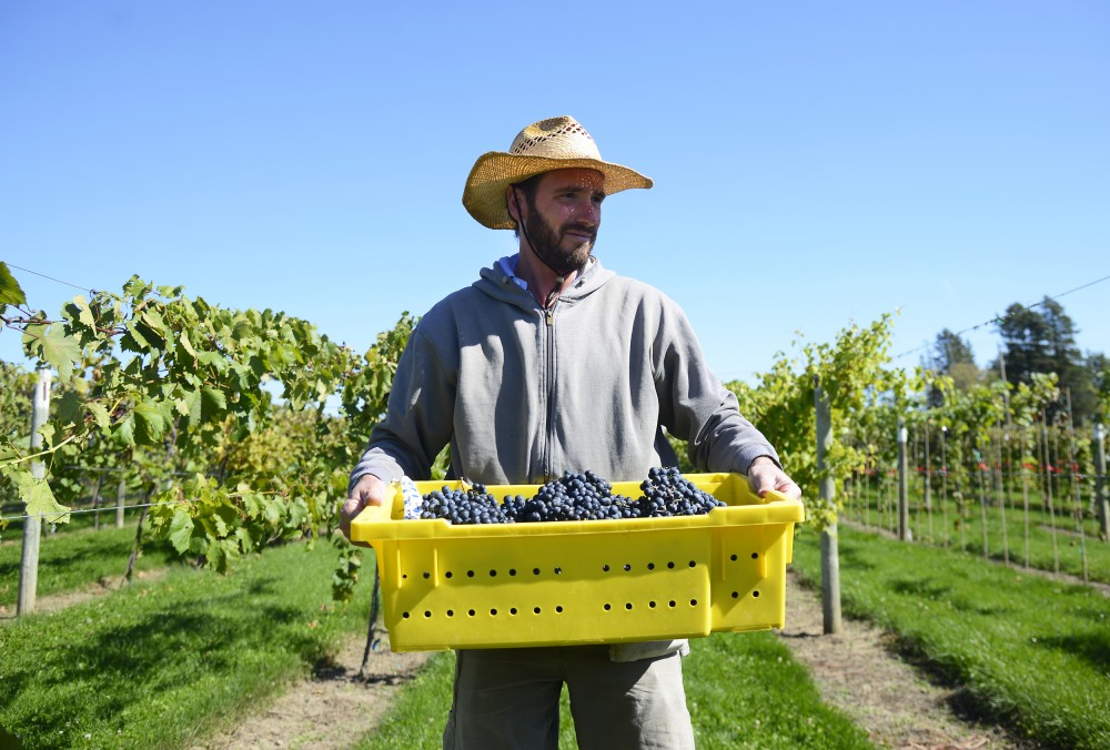 John Thull carries recently harvested grapes at the research vineyard in Excelsior, Oct. 1., to the research winery for juicing.