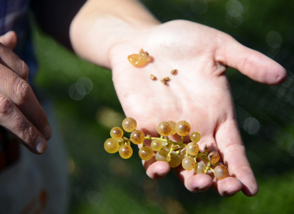 Jenny Thull holds out freshly harvested grapes, displaying the seeds from the a single grape, Oct. 1.