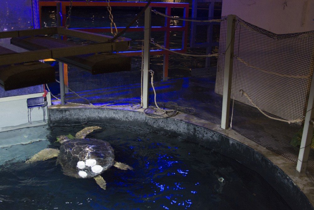 Seemore the sea turtle swims in her tank behind the scenes at Sea Life at the Mall of America on July 7, 2017. Seemore lost her shell in a boating accident and students from the University of Minnesota used 3D printing to build a new shell.