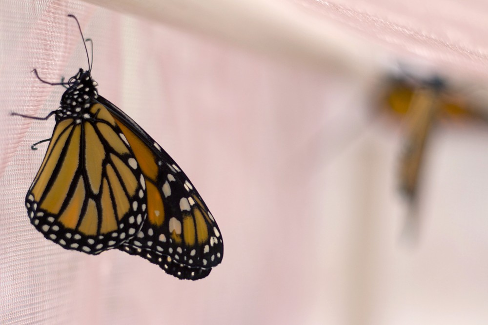 Monarch butterflies are seen in a mating tent on Thursday, July 20, 2017 in Green Hall in St. Paul. The Conservation Corps, who run the Monarch Joint Venture, are focusing on breeding monarchs for education purposes in the fall.