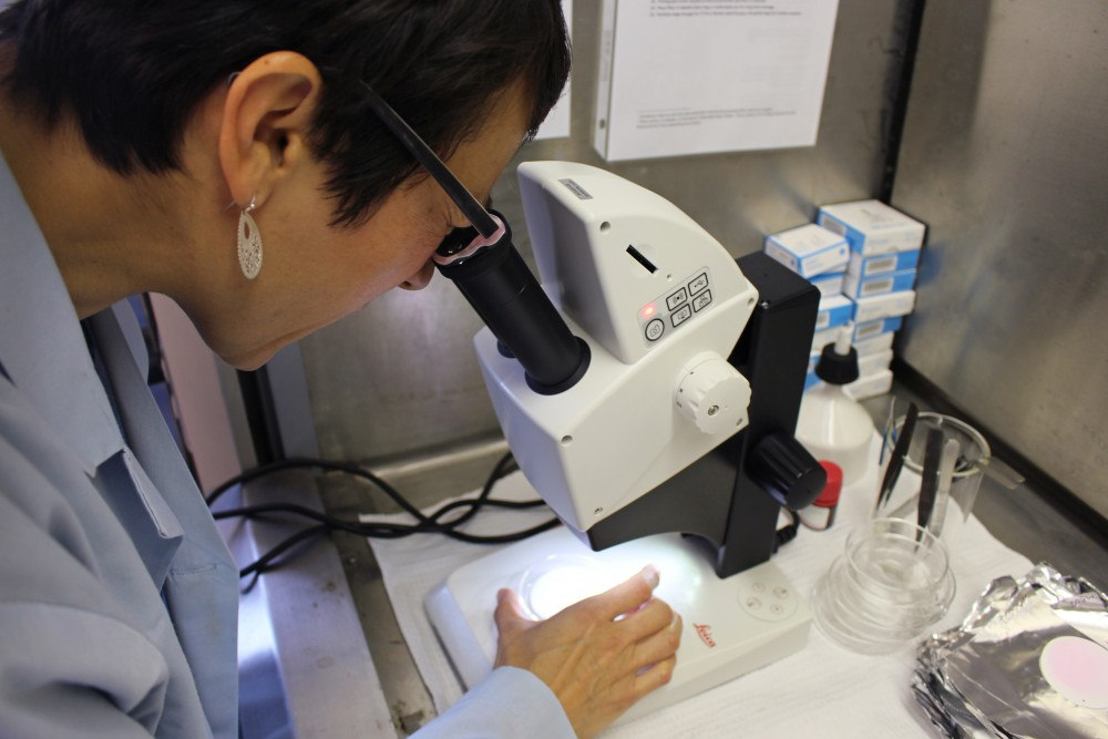 Mary Kosuth works with her microscope on Friday at the School of Public Health in the Mayo Building on East Bank.